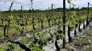 France: Severe weather destroys the Bordeaux wine harvest