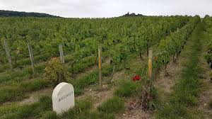 Bordeaux, seven new varieties allowed to fight climate change